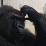 Head Scratching Gorilla